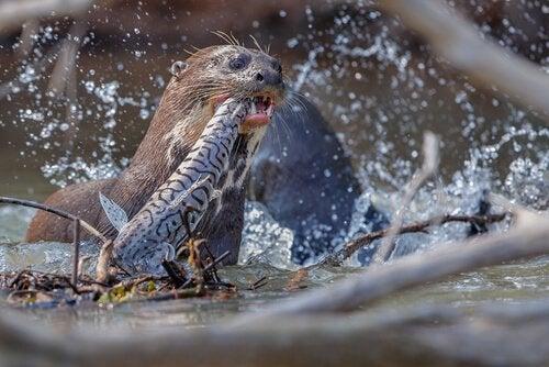 En kæmpe odder fanger fisk
