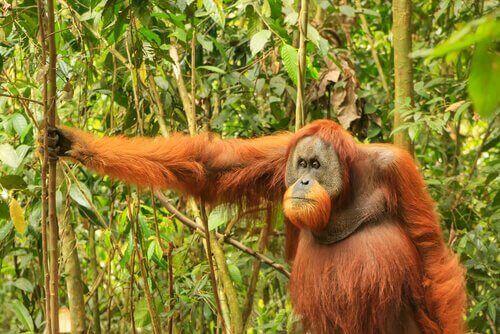 Sumatra orangutanger lever hovedsageligt af frugt - de foretrækker store, kødfulde frugter. De supplerer deres kost med insekter som termitter eller myrer samt med blade og bark