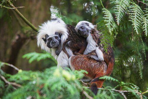 Paryksilkeaber er klassificeret som dyr i kritisk fare for udryddelse, her ses mor og unge