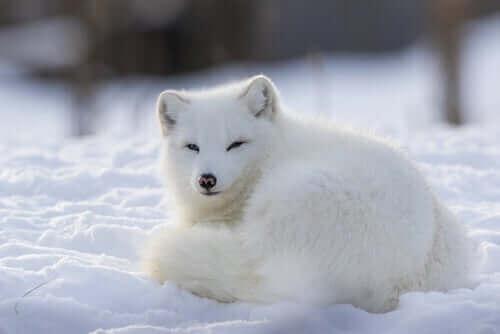 Polarræven: Et socialt og territorialt dyr