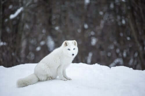 pelsen er meget hvid på denne ræv