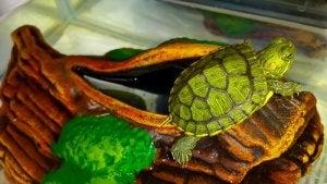Et succesfuldt hjemmelavet terrarium til en skildpadde