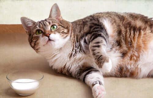 Overvægtig kat