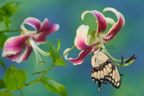 en svalehale suger nektar