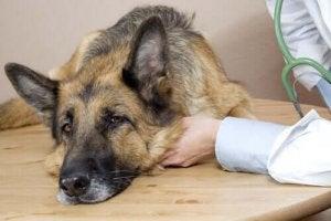 Sløv hund viser tegn på anaplasmose