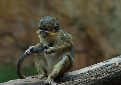 Eksempel på talapoin aber, der leger