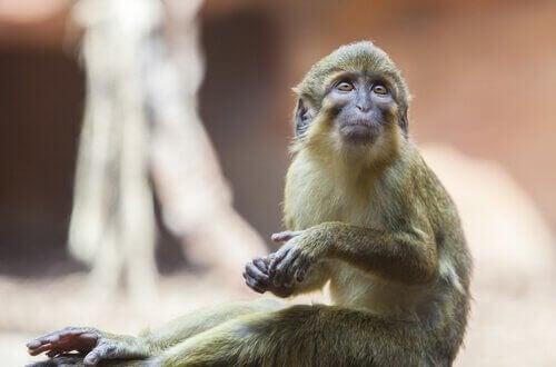 Talapoin aber: Karaktertræk, adfærd og levested