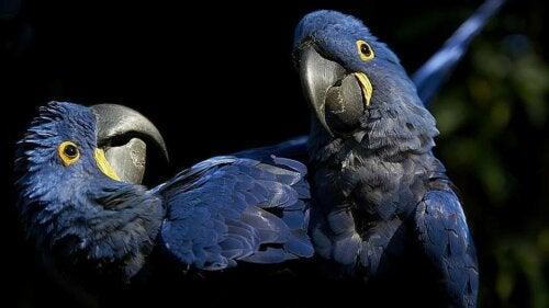 Forstår papegøjer, hvad de siger?
