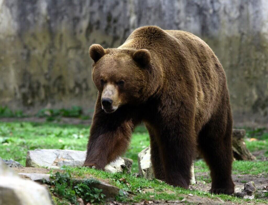 Forskellene mellem den brune bjørn og grizzlybjørnen