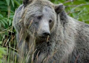 Den brune bjørn