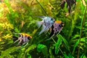 Den forventede levealder for akvariefisk