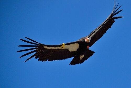 Den californiske kondor flyver