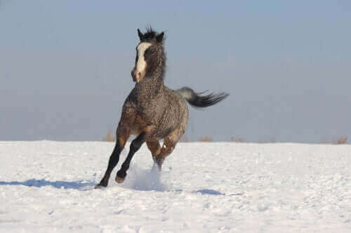 Amerikansk curly-hest på eng