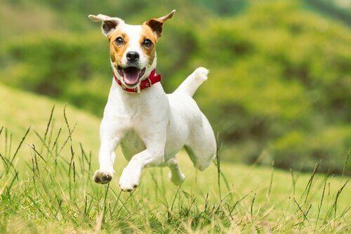 Hund hopper på græsplæne