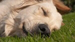 En hund hviler sig på græs