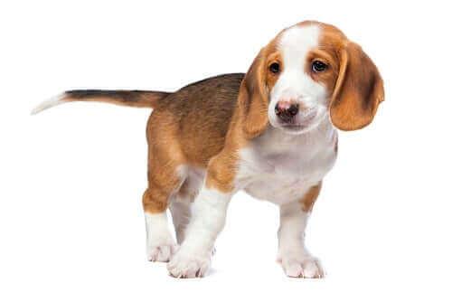 Denne hunderace er muligvis lille i størrelsen, men de er fulde af energi
