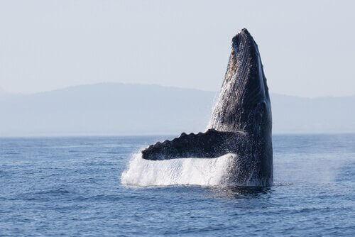Hvalernes ruter er de samme som for 270.000 år siden