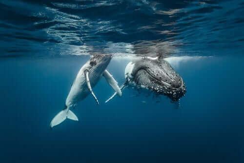 to pukkelhvaler