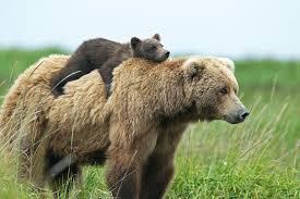 Grizzlybjørnen med unge