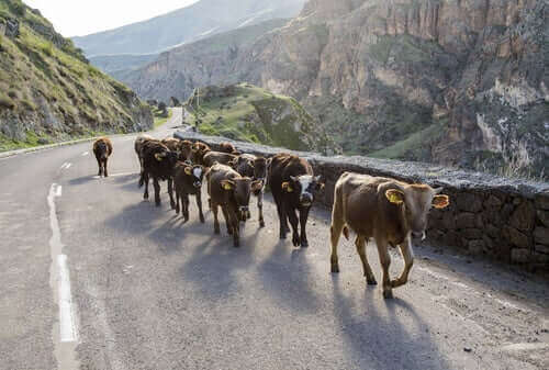 Køer går langs vej