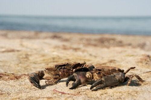 Forskellen mellem almindelige krabber og fløjlkrabber