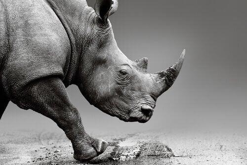 Indsprøjtning af gift i hornet på næsehorn for at beskytte dem