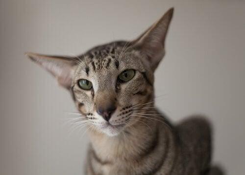 Den orientalske korthårede kat