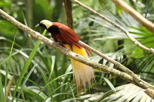 Paradisfuglen: Arter og karakteristik
