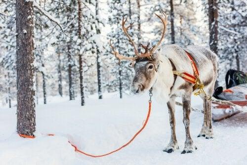Du kan finde rensdyr i Alaska, Canada, Grønland, Nordeuropa og i det nordlige Asien. De lever i tundraer, på bjerge og i ugæstfri skove
