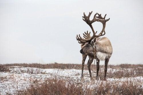 7 interessante fakta om rensdyr