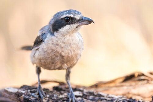 Rødhovedet tornskade: Slagterfuglen