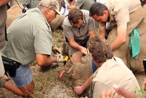 Næsehorn bedøves og deres horn indsprøjtes med gift