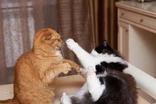 to katte i slagsmål