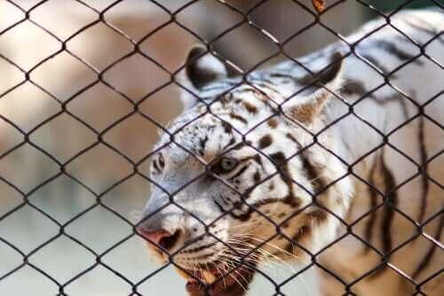 en hvid tiger i bur viser behov for beskyttelse af vilde dyr