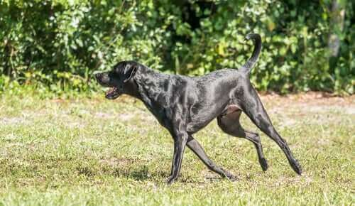 stor hund løber frit på græsset