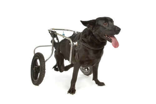 hund med rullestol