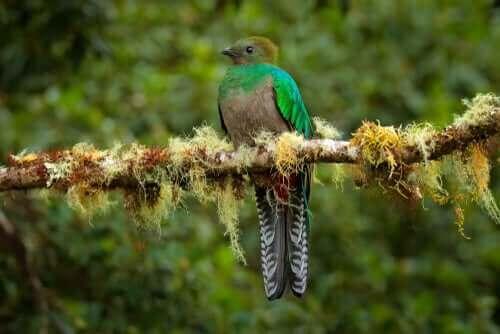Farvestrålende quetzal på gren