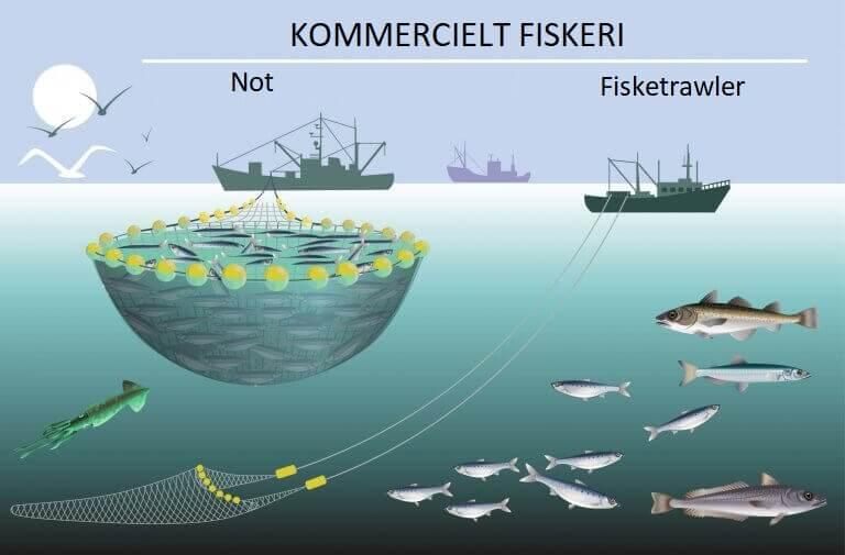 Fiskeri af kulmuler