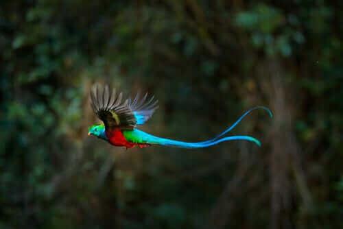 Den farvestrålende quetzal er spredt rundt i skovene i Mexico og Mellemamerika