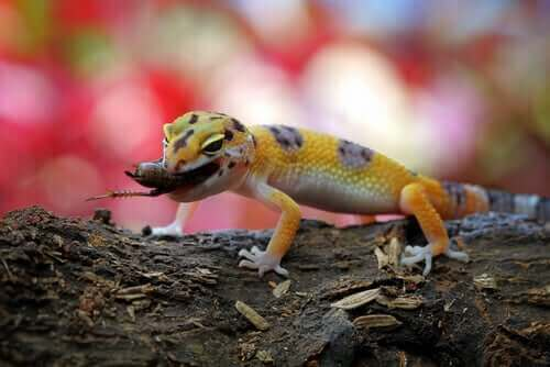 gekko med insekt i gabet