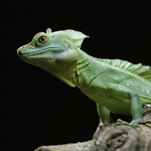 Grøn basilisk: Pleje og karaktertræk