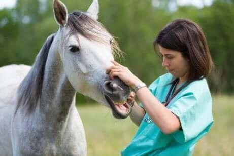 En dyrlæge, der foretager en tandundersøgelse på en hest
