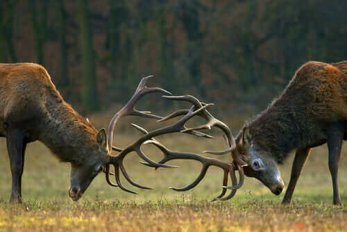 Hjorte slås