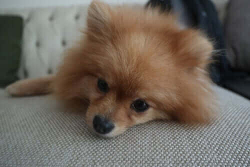 Hund hviler sig på sofa