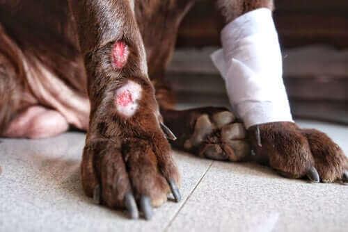 Skader på en hunds poter