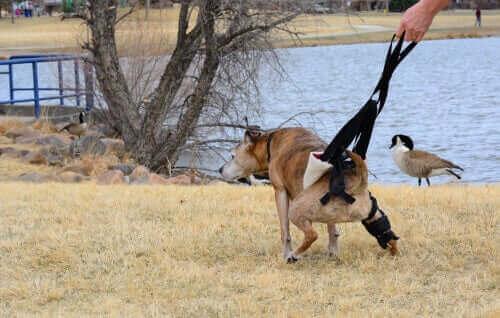 Hund med sele grundet problemer med fordøjelsen