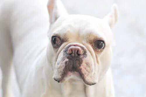 Hund, der skeler, illustrerer strabismus hos hunde