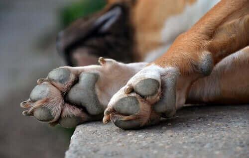 Behandling af skader på en hunds poter