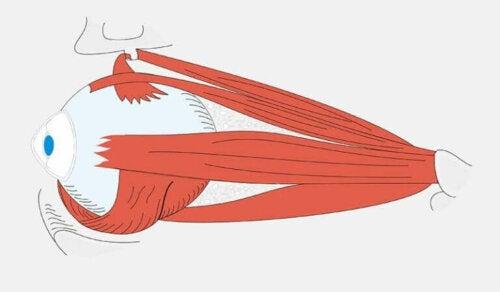 Illustration af øjet
