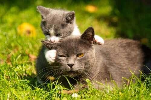 Kat og killing i have viser, at man nogle gange skal flytte et kuld killinger